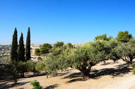 arboleda: Vista desde el Monte de los Olivos a las paredes de la ciudad vieja de Jerusal�n y la C�pula de la Roca
