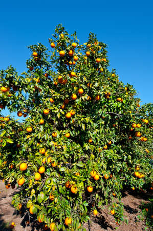 harvests: Oranges on the Tree ready for Harvests