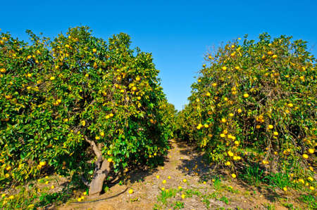israel agriculture: Oranges on the Tree ready for Harvests