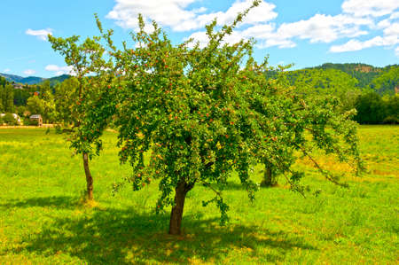 Apple Tree  on the Meadow near the Farmhouse  photo