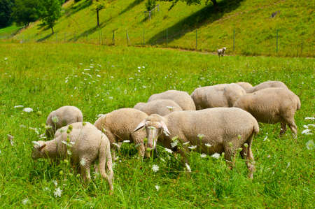 Sheeps Grazing in the Alpine Meadows of Bavaria Stock Photo - 12396436