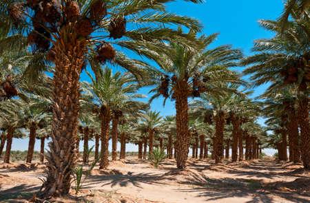 israel farming: Plantation of Date Palms in the Jordan Valley, Israel