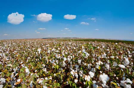 organic cotton: Bolls cotone maturi sul ramo pronto per i raccolti