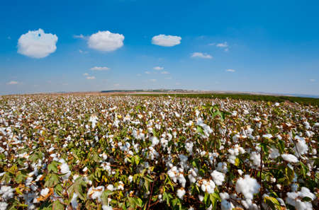 materia prima: Las cápsulas maduras del algodón en rama listo para las cosechas Foto de archivo