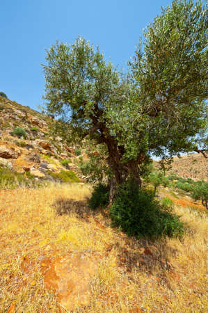 Olive Grove on the Slopes of the Mountains of Samaria, Israel Stock Photo - 12939033