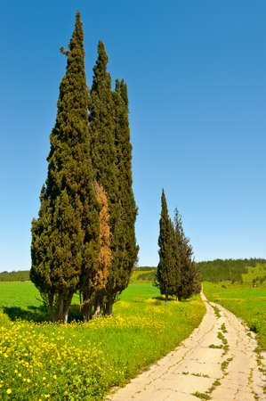 Cypress Trees along the Dirt Road, Israel