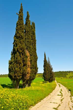 Cypress Trees along the Dirt Road, Israel