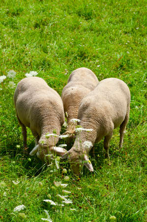 Sheep Grazing in the Alpine Meadows of Bavaria Stock Photo - 13014495