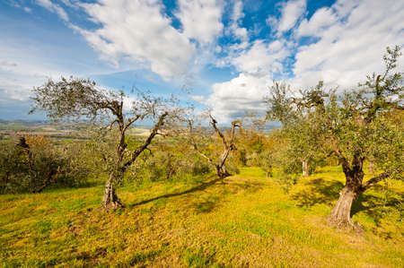 Olive Grove on the Slopes of the Apennine Mountains , Italy Stock Photo - 13815144