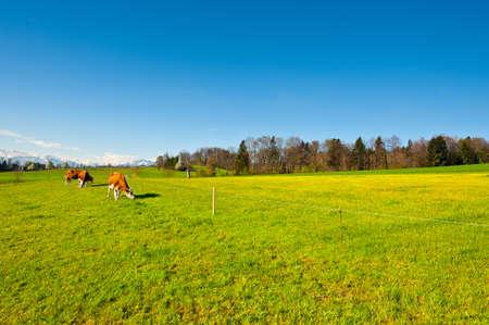 Cows Grazing on Green Pasture in Switzerland photo
