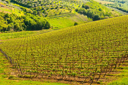 Natural Background of Vineyard in the Chianti Region photo