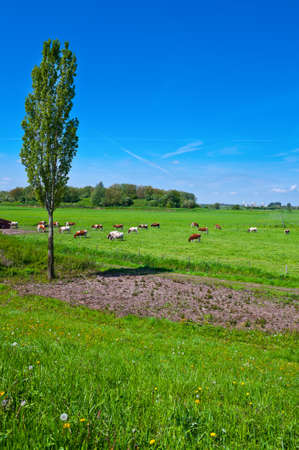 floodplain: Cows Grazing in the Floodplain of the Rhine, Netherlands