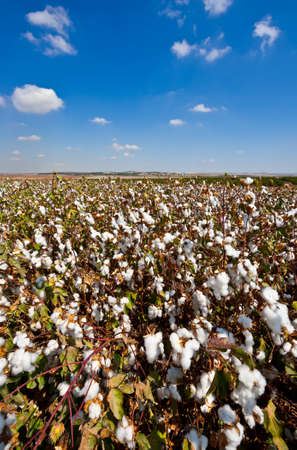 cotton cloud: Ripe Cotton Bolls on Branch Ready for Harvests Stock Photo