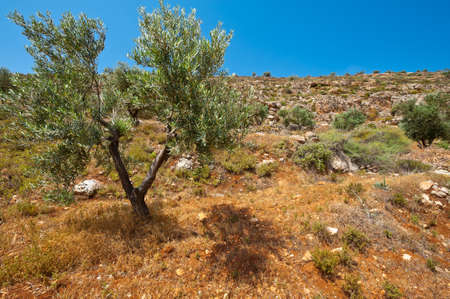 Olive Grove on the Slopes of the Mountains of Samaria, Israel Stock Photo - 14191352