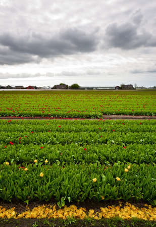 Hothouses between the Fields of Tulips, Netherlands photo
