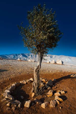 Olive  on the Slopes of the Mountains of Samaria, Israel, Sunset Stock Photo - 14333624