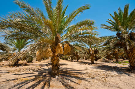 Plantation of Date Palms in the Jordan Valley, Israel Stock Photo - 14387078