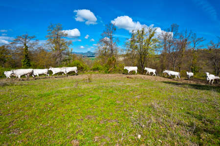 Running Cow and Bull on Alpine Meadows in Italy Stock Photo - 14387069
