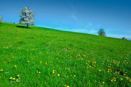 Grazing Cows and Flowering Tree Surrounded by Sloping Meadows, Switzerland photo