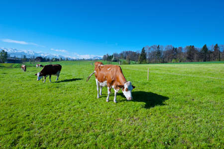 Cows Grazing on Green Pasture in Switzerland photo