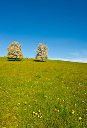 Grazing Cows and Flowering Trees Surrounded by Sloping Meadows, Switzerland photo
