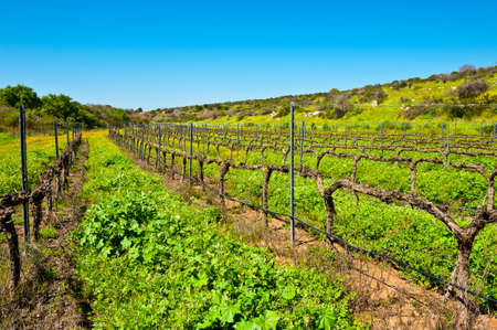 Rows of Vines on the Field in Israel, Early Spring Stock Photo