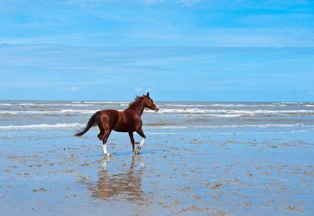 caballo de mar: Caballo solitario en la costa del Mar del Norte en Zeeland, Países Bajos Foto de archivo