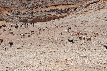 Herd of Goats Grazing in the Mountains of Samaria, Israel Stock Photo - 14713750
