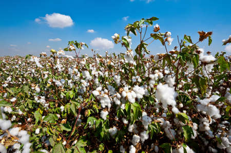 organic cotton: Bolls cotone mature su Branch pronto per i raccolti