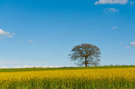 Flowering Tree Surrounded by Sloping Meadows of Tuscany