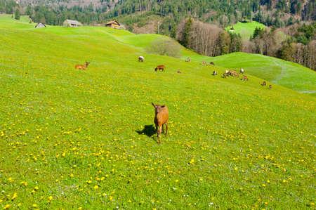 Goats Grazing on Green Pasture in Switzerland photo