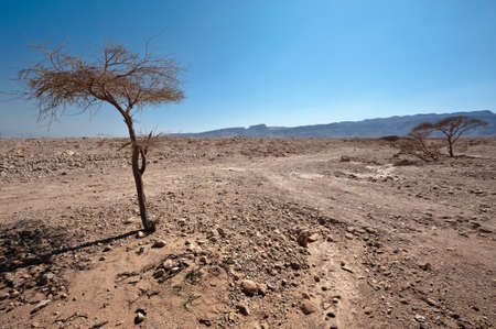 Dry Tree in Sand Hills of Samaria, Israel Stock Photo - 15032458