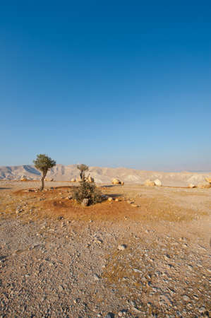 Olive Trees in Sand Hills of Samaria, Israel photo
