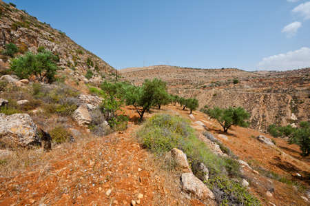 Olive Grove on the Slopes of the Mountains of Samaria, Israel Stock Photo - 15550022
