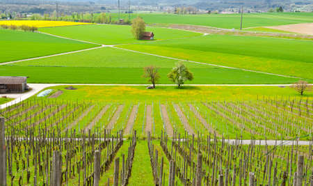 wine road: Young Vineyard on the Slopes of the Swiss Alps