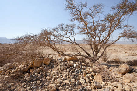 samaria: Dry Tree in Sand Hills of Samaria, Israel