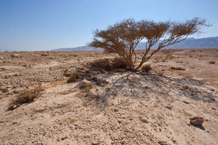 nature reserves of israel: Dry Tree and Big Stones in Sand Hills of Samaria, Israel Stock Photo