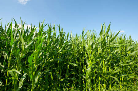 fodder corn: Plantation of Fodder Corn in Southern Bavaria, Germany