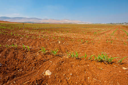 Sprinkler Irrigation on a Plantation of Young Corn in Israel Stock Photo - 15934003