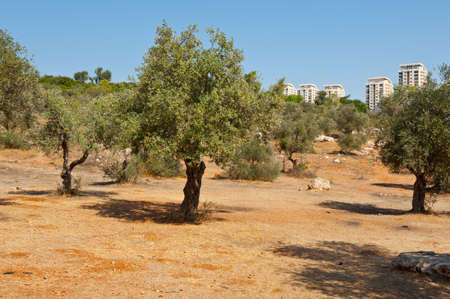 israel farming: View to Jerusalem from the Olive Grove in the Valley of the Cross Stock Photo