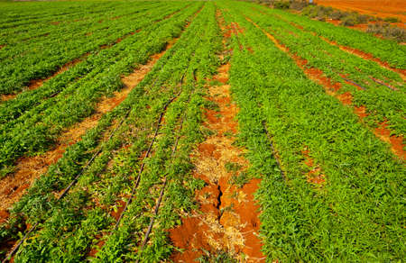Rows of Fresh Young Green Seedling in Israel Stock Photo - 16002772