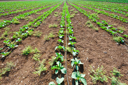 Rows of Fresh Young Green Seedling in Israel Stock Photo - 16002752