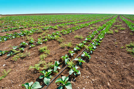 Rows of Fresh Young Green Seedling in Israel Stock Photo - 16002719
