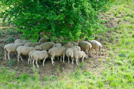 Sheep Grazing in the Alpine Meadows of Bavaria Stock Photo - 16002734