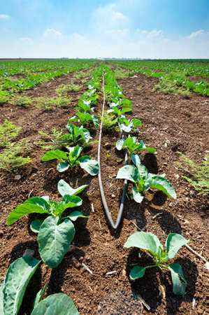Rows of Fresh Young Green Seedling in Israel Stock Photo - 16401757