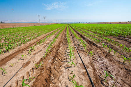 agronomy: Rows of Fresh Young Green Seedling in Israel