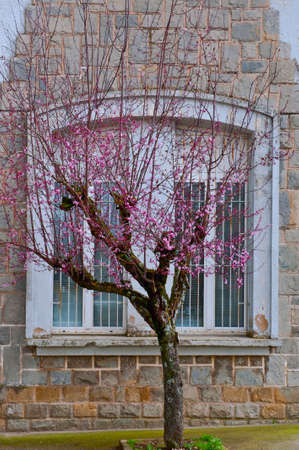Flowering Almond on the Background of Window photo