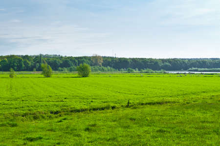 floodplain: Cows and Sheep Grazing in the Floodplain of the Rhine, Netherlands Stock Photo