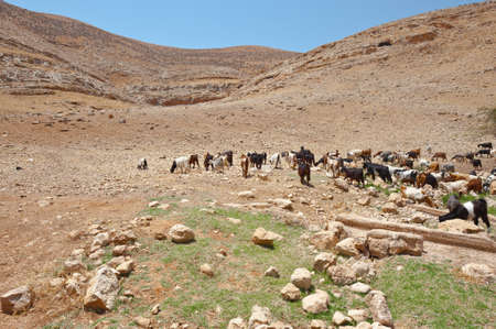 samaria: Herd of Goats Grazing in the Mountains of Samaria, Israel