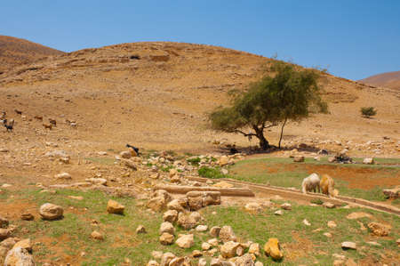 Herd of Goats Grazing in the Mountains of Samaria, Israel photo